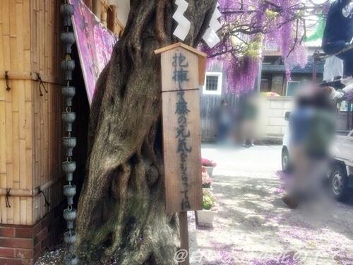 信太宿の藤