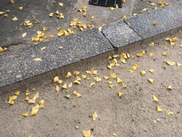 参道に落ちていた銀杏の葉
