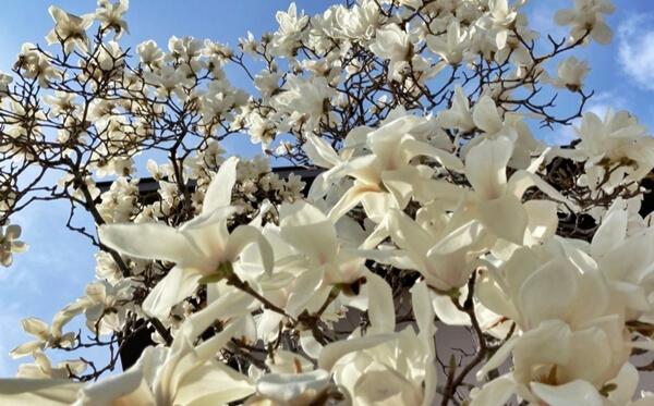 白い木蓮の花