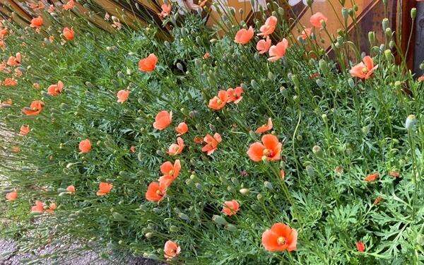 道端に咲くひなげしの花